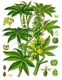 arbre de ricin produisant huile de ricin