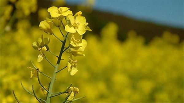 plante de canola produisant l'huile de canola
